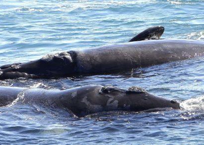 Whale Watching Hermanus Brazil bookonboard guide